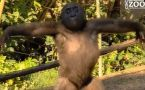 Baby Gorilla dances spinning around with arms in the air