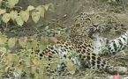 Leopard rescued from steel trap laid by hunters, Watch video
