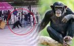 Chimpanzee Escapes Zoo Enclosure, Attacks Zookeeper