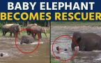 Baby elephant runs to save man from drowning, video goes viral