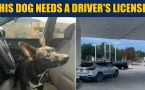 Chihuahua puts SUV in reverse, drives vehicle through 4-lane road
