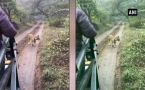 Tiger chases tourist vehicle in Rajasthan's Sawai Madhopur