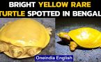 Bright yellow rare turtle spotted in West Bengal, What makes a turtle yellow