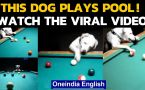 This dog can play pool even better than most of us, Watch the video if you don't believe