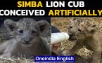 Singapore: Lion cub named Simba born via artificial intelligence at a zoo