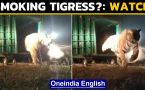 Is this tigress smoking? Bandhavgarh tigress goes viral
