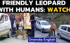 Little Leopard Plays on Roads of Himachal | Video goes Viral
