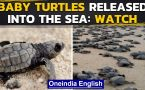 Large number of baby turtles released into sea in Rameswaram