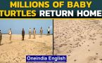 Millions of Olive Ridley turtles hatch at Odisha beach