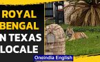 Royal Bengal Tiger spotted in West Houston, Texas