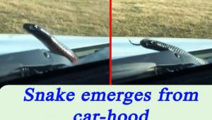 Snake emerges out of carbonnet in Australia, Watch Shocking Video