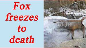 SHOCKING: Fox freezes to death in river