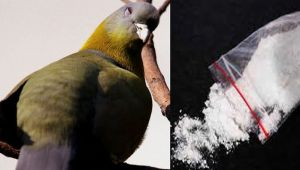 Kuwait pigeon caught carrying illegal Drugs
