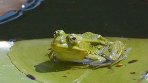 Frog with transparent skin is under threat due to lack of habitation