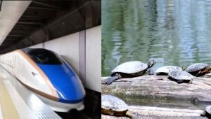 Japan construct tunnels for turtles to pass safely at railway tracks