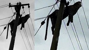 Leopard climbs electric pole, dies of electrocution