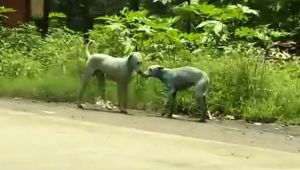 Mumbai dogs are turning blue because of toxic water, Watch video
