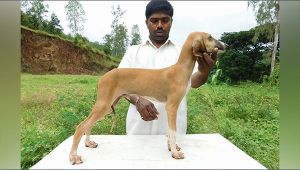 Mudhol Hound, first Indian breed of dog to be inducted into army