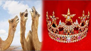 12 Camels Disqualified From Beauty Pagent For Unethical Botox Use