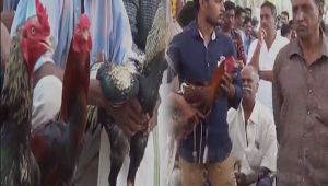 Cockfight event organised in Andhra Pradesh despite court ban, Watch Video