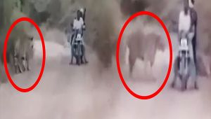 Indian biker's close encounter with wild tigers caught on camera, Watch