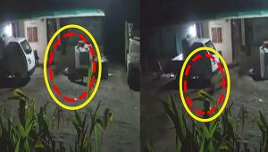 Tiger catches dog in Maharashtra's Shirdi, Watch shocking CCTV footage