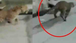 Leopard runs in the street of Aurangabad Khalsa village in Uttar Pradesh, Watch video