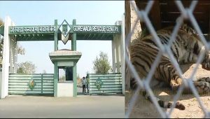 Tiger in India to soon get 'Prosthetic Paw', Watch video