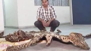 Leopard Skin Smuggling: Custom Officials nab smuggler RED HANDED carrying leopard skin