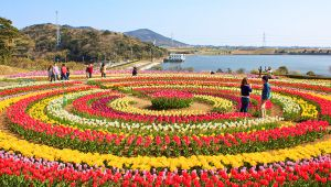 Asia's largest Tulip Garden opens for visitors & tourists in Kashmir; Watch Video