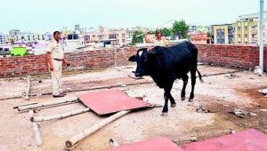 Bull stuck on rooftop of house, rescued by locals