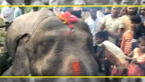 Elephant electrocuted in Assam, Local blames power department