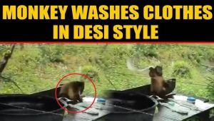 Watch: This monkey washes clothes better than humans, video viral