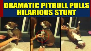 Pitbull pretends to faint to avoid nail trimming, video goes viral