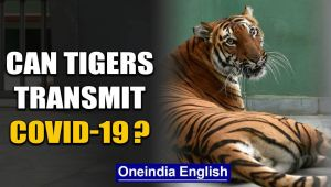 A tiger has tested positive for COVID-19, what could this mean?