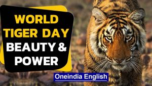International Tiger Day| Beauty & beast| Conservation can't wait