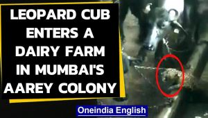 Mumbai: Leopard enters a dairy farm in Aarey colony, watch the video