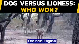 Dog challenges lioness | Who won in the end? Watch