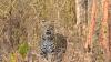 Uttarakhand: Leopard kills woman in Rajaji Park