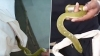 WATCH: Venomous green snake removed from kurta of sleeping man in hospital