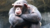 Why the ED decided to attach 3 chimpanzees as part of its money laundering probe