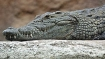Not the guest you want: Odisha man greets a 'crocodile greeting'