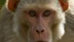 Scientists implant human brain genes into monkeys, fuel medical ethics debate