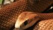 Video: Snake eats kangaroo in Australia