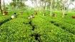 Storm in Darjeeling's teacup? 'Distressed' tea garden owners seek bail-out package