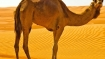 Rajasthan: Kept in the sun for long, angry camel kills owner