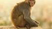Uttar Pradesh: Fighting monkeys drop brick, man dies