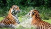 'Not many reasons to be happy for tigers'
