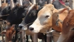 Two cattle smugglers apprehended