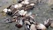Avian flu: 17 more ducks die in Deer Park
